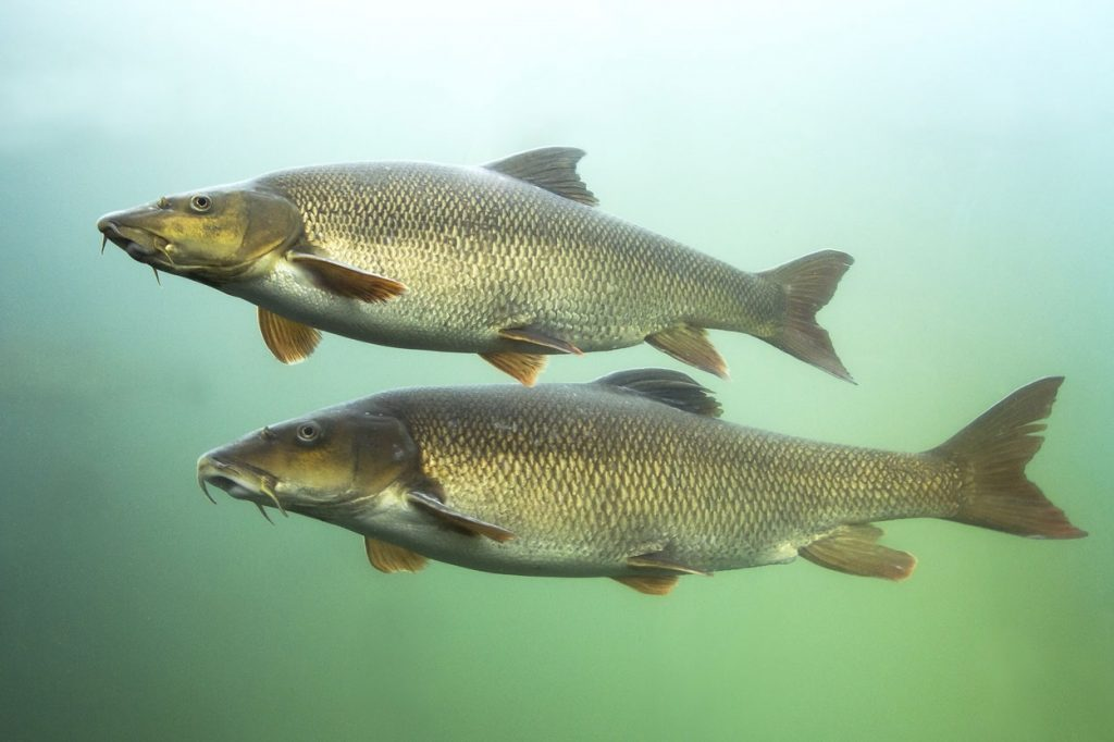 Two barbel fish in Slovenian waters