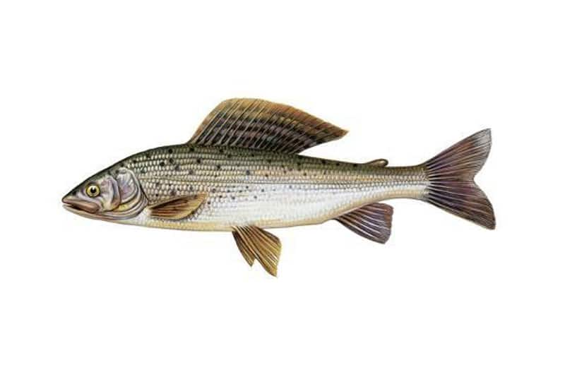 Picture of a grayling fish