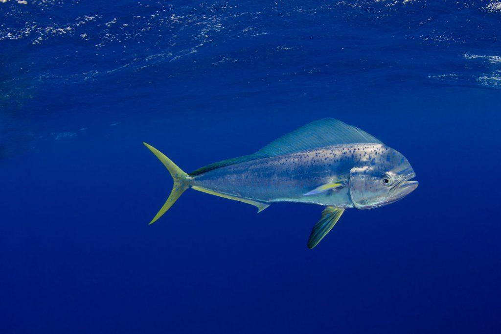 A picture of mahi fish in the sea