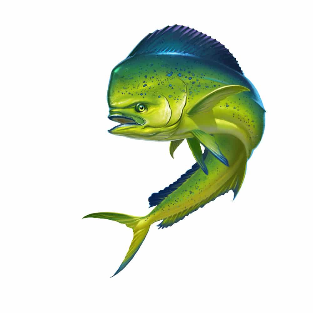 Picture of a mahi mahi fish