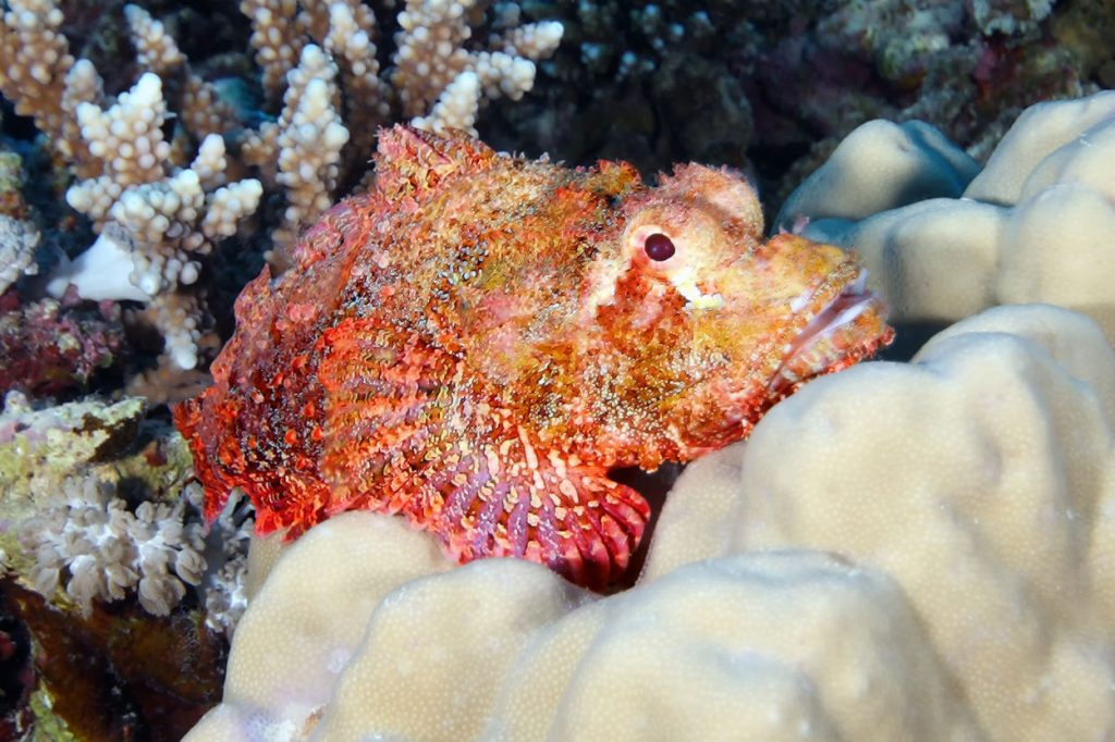 Red scorpion fish on the rock