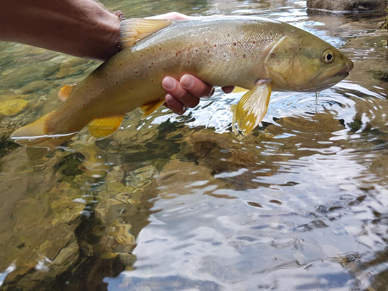 Trout from Sava river