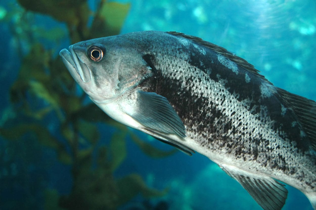 Underwater picture of a sea bass