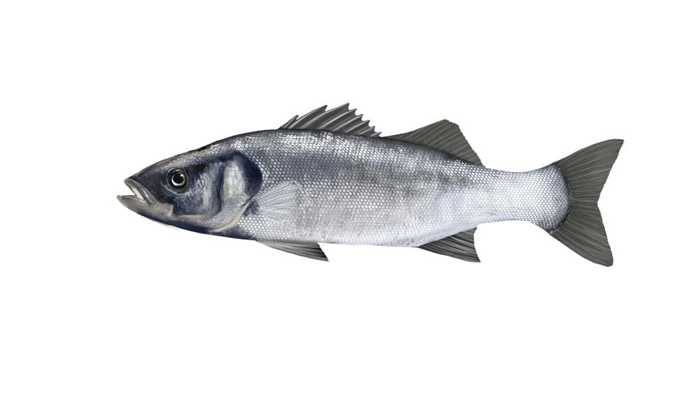 Picture of a sea bass