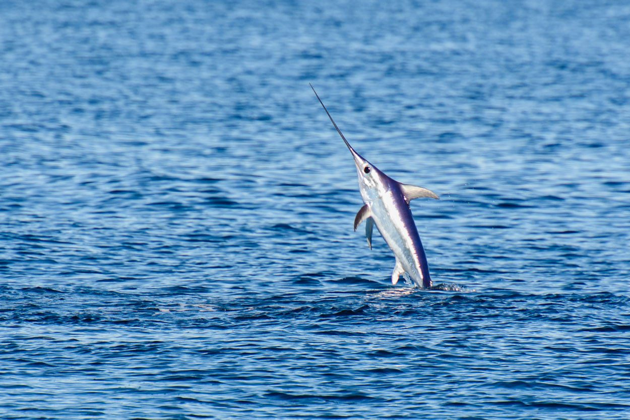 Swordfish jumping out of the sea