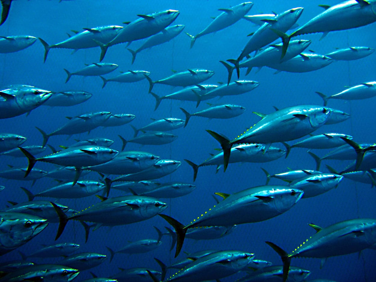 Flock of tuna fish