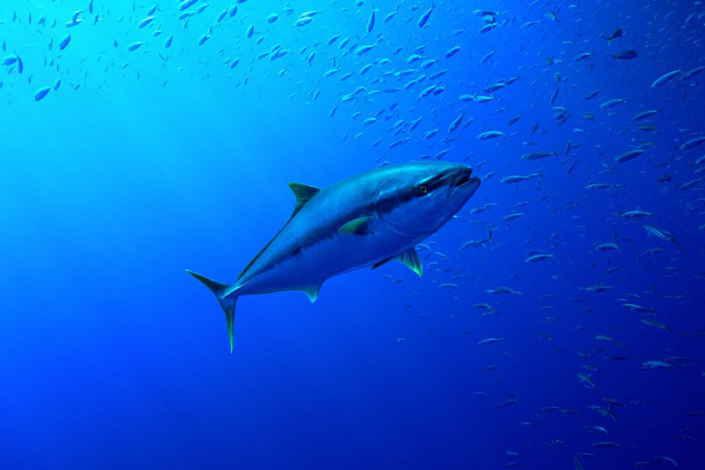 Tuna fish surrounded by other little fish