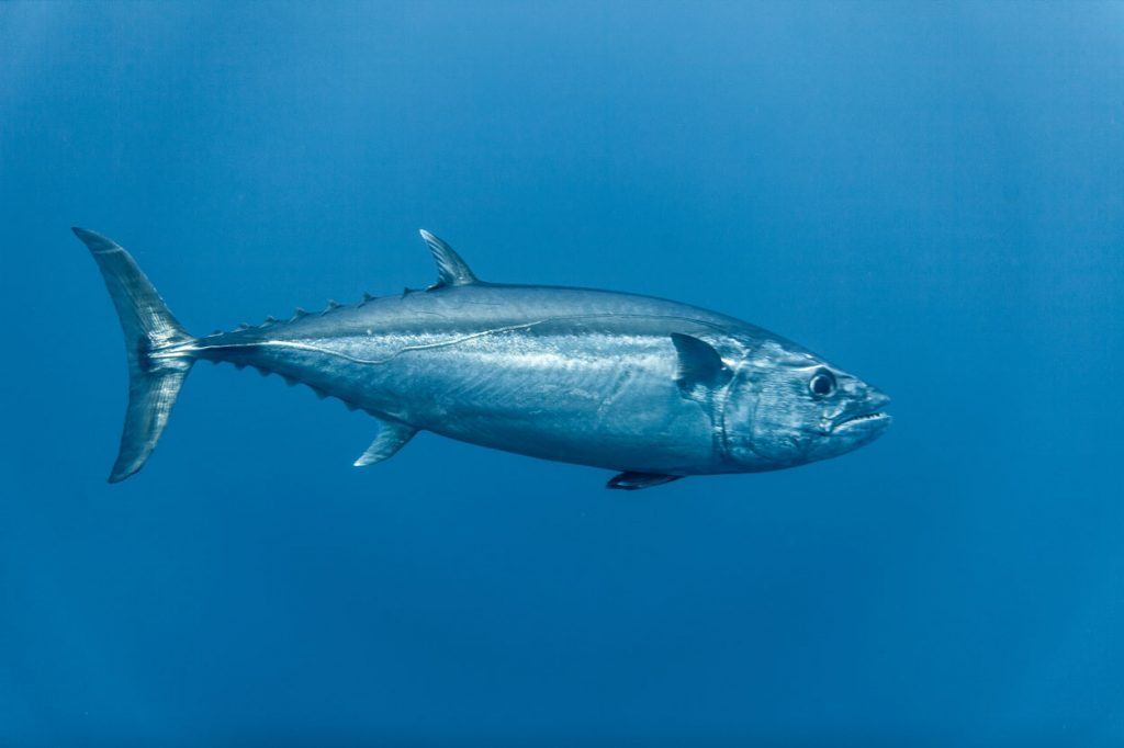 A picture of tuna fish in the water
