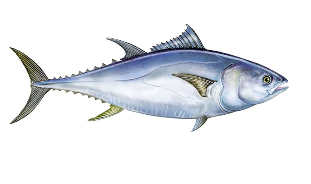 Picture of a tuna fish