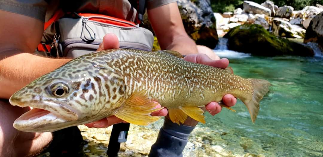 Colorful Marble trout caught on Soča river