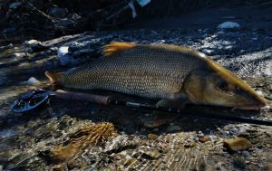 Barbel caught on a fly during a fly fishing session on Savinja river